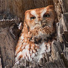 Eastern Screech Owl<br /> RJB Wild Birds of Ontario Workshops<br /> Canon EOS 70D<br /> Swarovski Telescope STX 30 x 95mm - 1350 mm<br /> 1/200s f9.5 iso200