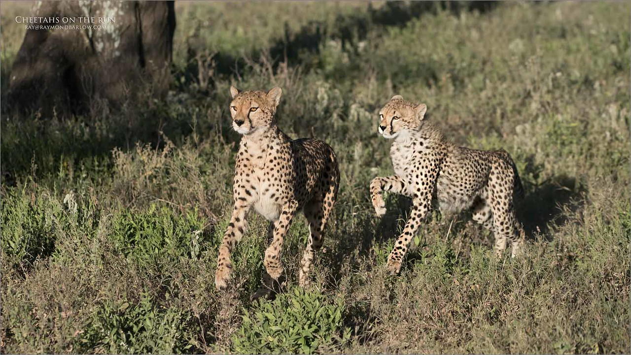 This is an eight story  with a cheetah family hunting for a kill.  4 of 8<br /> <br /> <br /> The elder mother and sibling soon caught on to the sounds of the chewing of flesh crunching of bones and the noises made by a feeding cub. They stood back and carefully moved in making very sure that there was no other animals around as they might be interested in joining in the feast.<br /> <br />  Once they saw the coast was clear, they moved in very quickly to enjoy the feast.