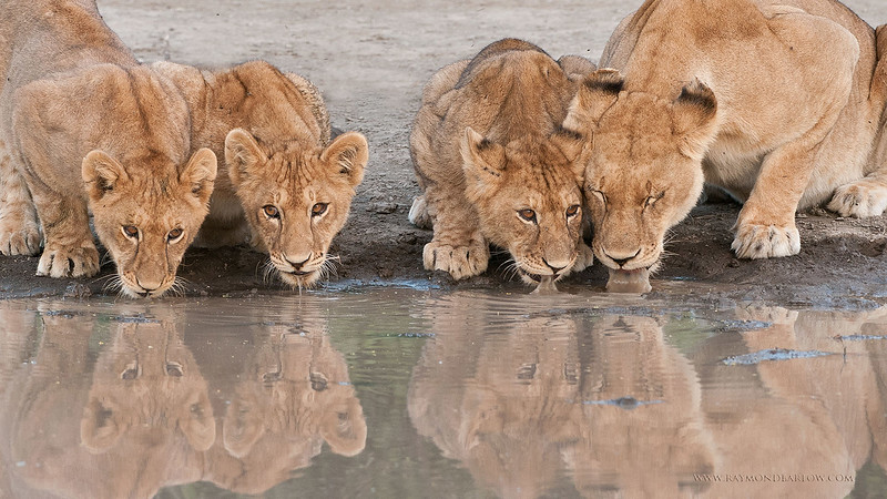_DSC7509 Lion Family on the Waters Edge 1600 share