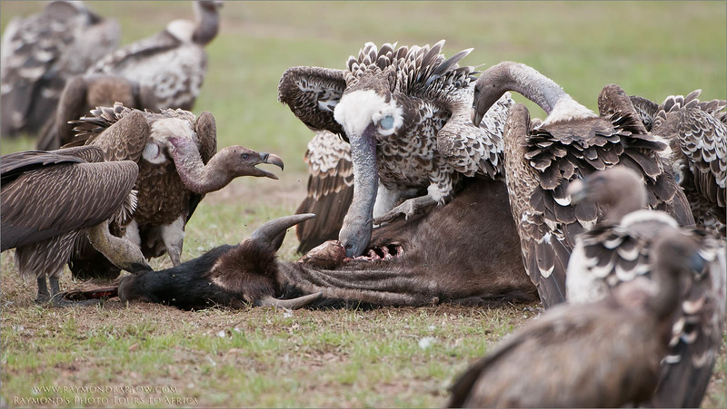 Vultures on a Kill - Serengeti Photo Tours