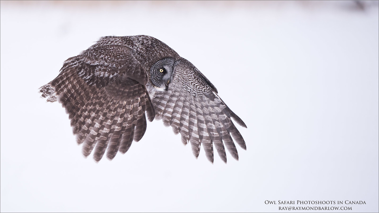 "Great Grey Owl Hunting for Natural Prey - No Bait<br /> Raymond's Canada Nature Photography Tours<br /> <br />  <a href=""http://www.raymondbarlow.com"">http://www.raymondbarlow.com</a><br /> Nikon D810 ,Nikkor 200-400mm f/4G ED-IF AF-S VR<br /> 1/2000s f/4.0 at 280.0mm iso800"