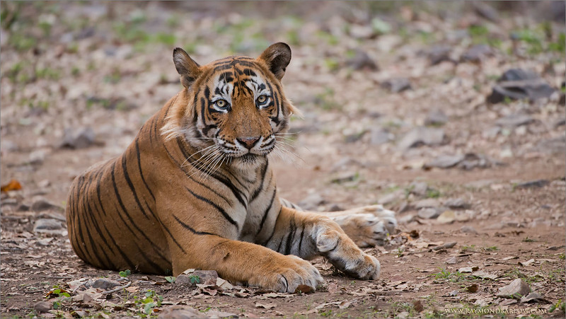 "#india #tiger  <br /> <br /> Join me for the next Tiger Tour?<br /> <br /> Early this June 2015!  This is ""Ustad"" also known as T24, a 550 pound Male located in Ranthambore NP, India.  I host photo tours to this location, as we have 2 mothers here with cubs.  Superb opportunities and an incredible experience!<br /> <br /> Ustad is waiting to say good morning to you!<br /> I really can't wait to go back!<br /> <br /> Raymond<br />  <a href=""http://www.raymondbarlow.com"">http://www.raymondbarlow.com</a><br /> <br /> High resolution prints available!<br /> ray@raymondbarlow.com"