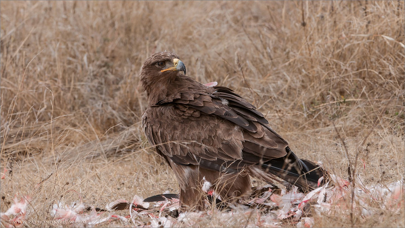 Tawny Eagle<br /> RJB Tanzania, Africa Tours<br /> <br /> ray@raymondbarlow.com<br /> 1/250s f/7.1 at 290.0mm iso200