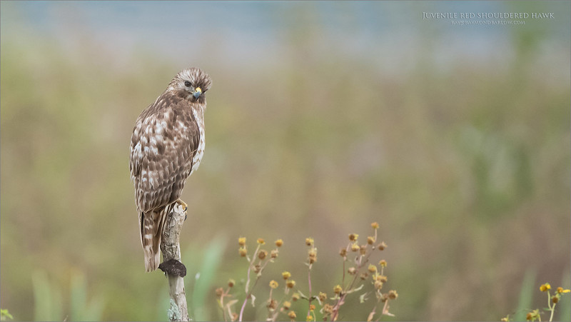 Juvenile red shouldered hawk<br /> Orlando, Florida<br /> <br /> ray@raymondbarlow.com<br /> Nikon D850 ,Nikkor 200-400mm f/4G ED-IF AF-S VR<br /> 1/800s f/4.0 at 400.0mm