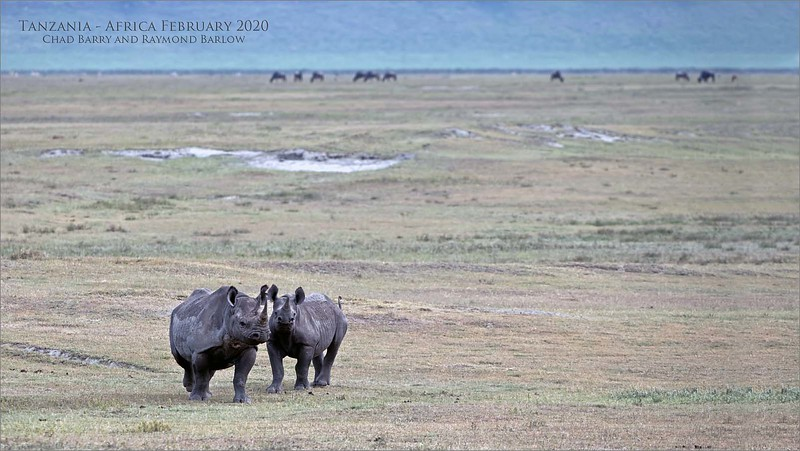 An expanding population of Black rhino are drawing more and more photographers to the Ngorongoro crater, which is not too far from the great Serengeti!<br /> <br /> I have seen this animal on each of my 6 photo tours over the past few years, as we look forward to another visit coming soon, in February 2020, co-hosted by Chad Barry.  We have a maximum group size of 10 guests, so please register asap!<br /> <br /> Love Africa!<br /> <br /> Black rhino family<br /> Tanzania, Africa<br /> <br /> Tanzania - February 2020 with Chad Barry and Raymond Barlow<br /> Nikon D850 ,Nikkor 200-400mm f/4G ED-IF AF-S VR<br /> 1/500s f/5.6 at 360.0mm iso500