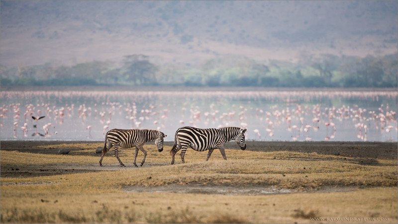 Zebras in the Ngorogoro Crater - Tanzania<br /> Raymond Barlow Photo Tours to Tanzania Wildlife and Nature<br /> <br /> ray@raymondbarlow.com<br /> <br /> A new tour to Tanzania coming up! February 2017<br /> <br /> Nikon D800 ,Nikkor 200-400mm f/4G ED-IF AF-S VR<br /> 1/4000s f/4.0 at 400.0mm iso400
