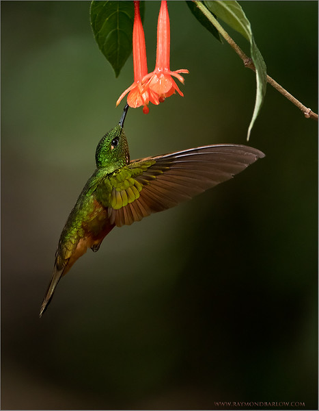 """Chestnut-breasted Coronet in Flight<br /> Raymonds Ecuador Tours<br /> <br />  <a href=""""http://www.raymondbarlow.com"""">http://www.raymondbarlow.com</a><br /> ray@raymondbarlow.com<br /> Nikon D810 ,Nikkor 200-400mm f/4G ED-IF AF-S VR<br /> 1/4000s f/4.0 at 330.0mm iso3200"""