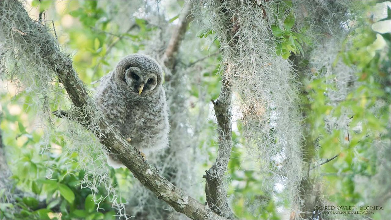 Barred Owlet - Florida<br /> Raymond Barlow Photo Tours to USA - Wildlife and Nature<br /> <br /> ray@raymondbarlow.com<br /> Nikon D850 ,Nikkor 200-400mm f/4G ED-IF AF-S VR<br /> 1/100s f/4.0 at 400.0mm iso800