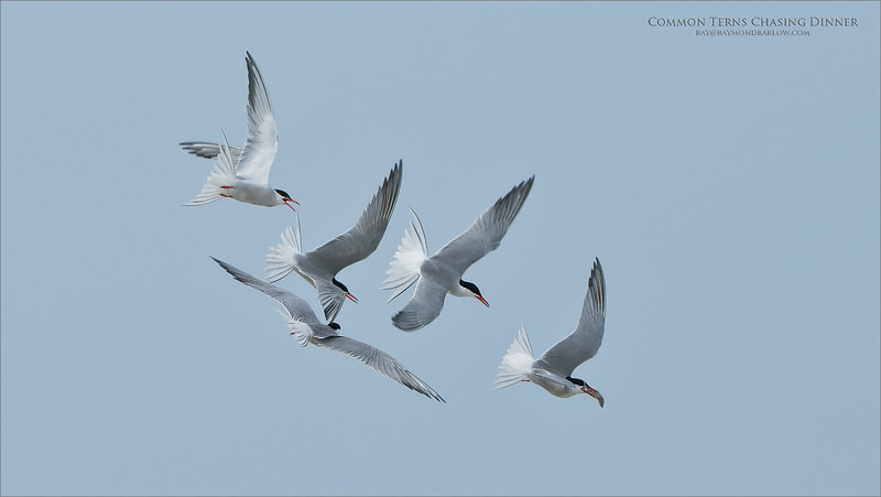 Four Common terns chasing the fifth, for a meal.  A nesting colony  near NYC proves to be very productive this time of year!<br /> <br /> Five Hungry Terns<br /> Long Island - NY<br /> <br /> ray@raymondbarlow.com<br /> Nikon D850 ,Nikkor 200-400mm f/4G ED-IF AF-S VR<br /> 1/1250s f/5.6 at 200.0mm iso320