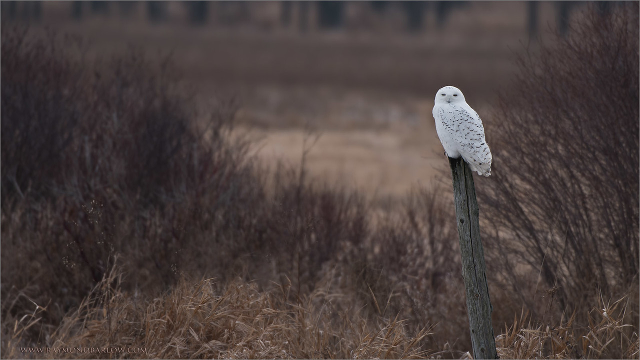 "Snowy Owl Hunting<br /> Raymond's Ontario Nature Tours<br /> <br />  <a href=""http://www.raymondbarlow.com"">http://www.raymondbarlow.com</a><br /> ray@raymondbarlow.com<br /> Nikon D810 ,Nikkor 200-400mm f/4G ED-IF AF-S VR<br /> 1/400s f/4.5 at 400.0mm iso64"
