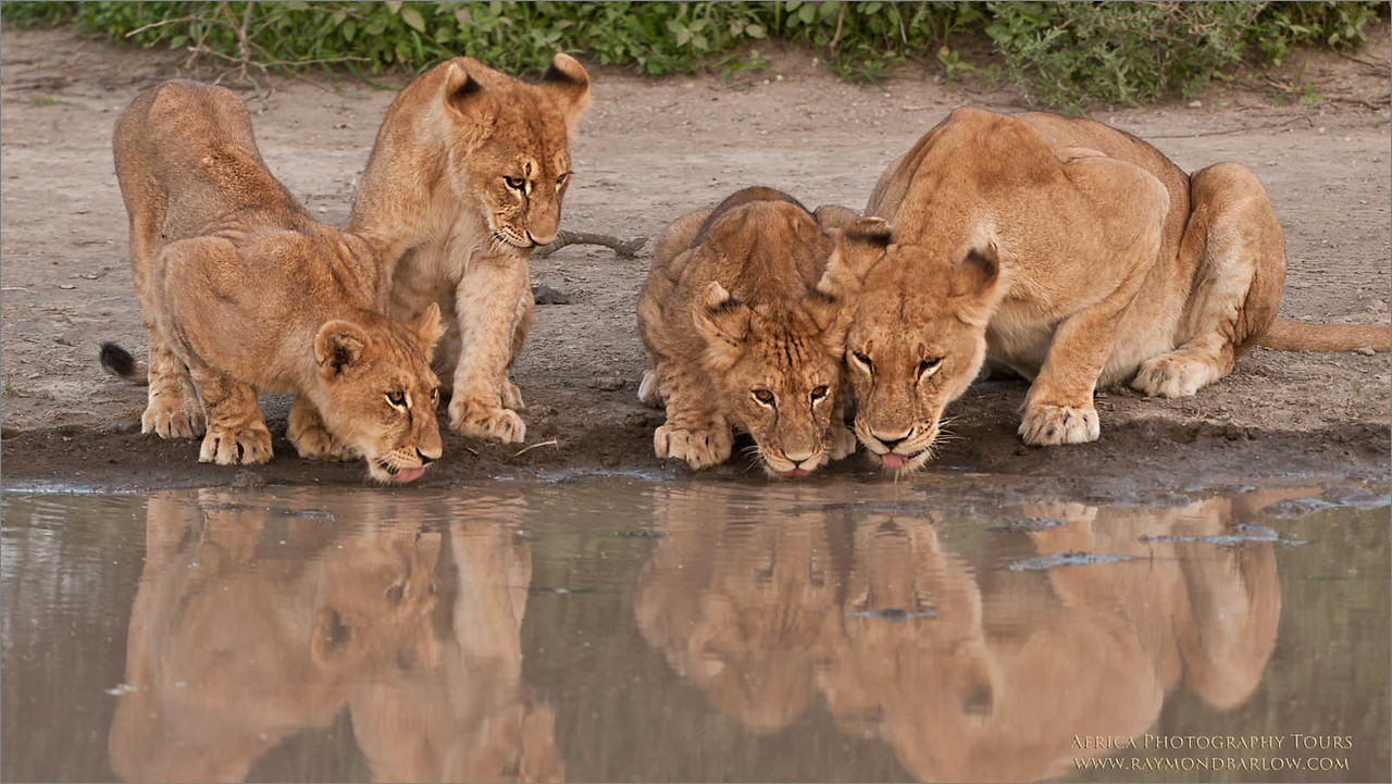 Tanzania Africa - Photography Tours with Raymond<br /> D300 - 200-400 mm <br /> <br /> ray@raymondbarlow.com