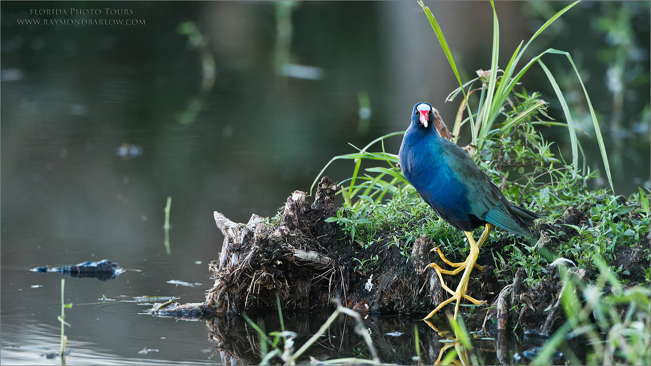 Purple Gallinule Posing<br /> Raymond Barlow Photo Tours to USA - Wildlife and Nature<br /> <br /> ray@raymondbarlow.com<br /> Nikon D810 ,Nikkor 200-400mm f/4G ED-IF AF-S VR<br /> 1/125s f/5.0 at 400.0mm iso1250