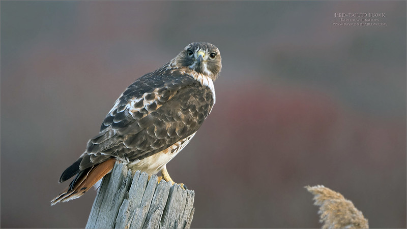 Since I was a young lad I have been fascinated with these awesome raptors.<br /> <br /> Red-tailed hawk<br /> <br /> My dad would take me for a drive out to a farm south of Cayuga Ontario, to pick up an order of beef.  During the drive, we would pass by several of these beauties, and from there, I told my dad that one day I would be photographing these birds.<br /> <br /> So, over the years, I have worked on a technique to have such opportunities.  These birds are super skittish, so once we make eye contact, the show is almost over!  <br /> <br /> This bird gave me a fair chance, I had about 10 seconds with it, and from there, I had to get off the middle of the road!  Car was coming!<br /> <br /> 55 shots later, I decided to edit this one, and delete 52 of them.<br /> <br /> This is a gorgeous adult in prime plumage, fairly confident, and the background made this shot a must catch, so I was ready with all my settings as best they could be.<br /> <br /> The sun was long gone, so darkness was near, so any hope for a flight shot was slim to none.  Eventually it took off to a high tree location well off the road for even more opportunities. <br /> <br /> Niagara, Ontario.  Thanks for looking, and feel free to share!