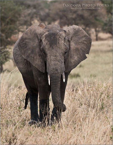 East African Elephant<br /> Raymond Barlow Photo Tours to Tanzania Wildlife and Nature<br /> <br /> ray@raymondbarlow.com<br /> Nikon D810 ,Nikkor 200-400mm f/4G ED-IF AF-S VR<br /> 1/1000s f/6.3 at 340.0mm iso800