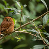 """The Ginger Male!  Pygmy Owl!<br /> <br /> One of this past winter's tour to Costa Rica, we had a great experience with some beautiful Owls.  A pair of male and female pygmy owls in mating mode.<br /> <br /> This bird was perched at a fair distance, so we waited until the light was just right before we fired a few shots.  The overcast light can really make a big difference.<br /> <br /> Best wishes to you, and thanks for the nice comments and shares!<br /> <br /> <br /> Costa Rican Pygmy Owl<br /> RJB Costa Rica Photo Tours<br />  <a href=""""http://www.raymondbarlow.com"""">http://www.raymondbarlow.com</a><br /> <br /> For prints - ray@raymondbarlow.com"""