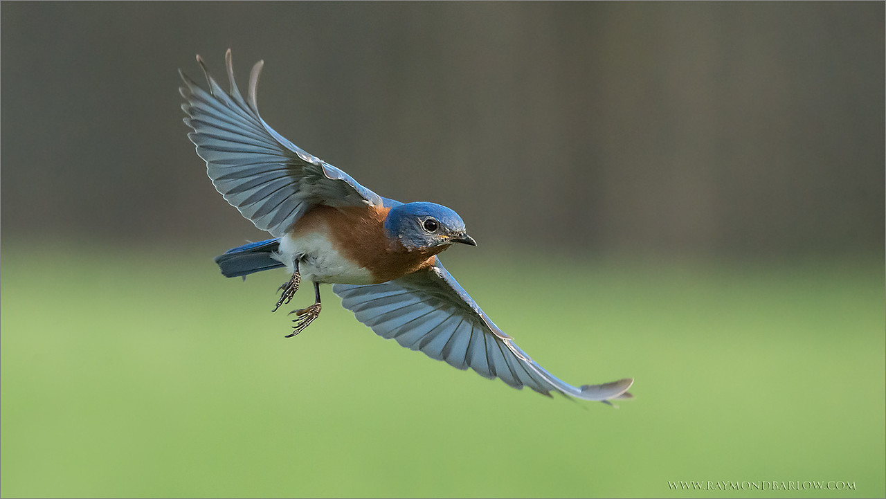 Flight of the Bluebird<br /> <br /> Such a beautiful bird to see and photograph.  A hidden gem in the back roads of Ontario, these birds have struggled to survive.  Dew to the amazing efforts from so many caring individuals, the species is on the rebound.<br /> <br /> Bluebird boxes are maintained all over Ontario, to help these birds find a place to nest, as so much habitat loss due to urban expansion, and farming.<br /> <br /> Iso 6400 for this shot gave me a high shutter speed, enough to minimize blur. More noise than I like to deal with, but still a decent image quality with some noise reduction techniques in post processing.<br /> <br /> Have a good week, please respect nature and all of our beautiful natural world.<br /> <br /> <br /> Eastern Bluebird in Flight<br /> RJB Wild Birds of Ontario Workshops<br /> ray@raymondbarlow.com<br /> 1/6400s f/6.3 at 400.0mm iso6400