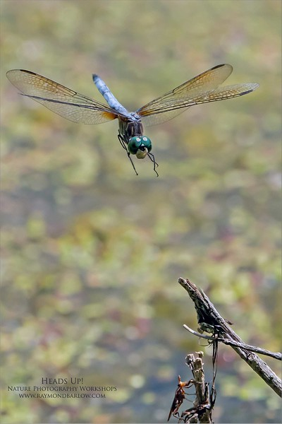A fun day with the Dragonflies!<br /> <br /> Quite a few shots in flight, while playing with some A9 settings.  During one series, I capture this dragonfly mating with his partner in flight!  It came out quite nice, and I will share it later.<br /> <br /> I messed around with different settings on the ISO today, this one was shot at 3,200 which gave me a shutter speed of 1/6,400.  So we have a nice freeze of the action. <br /> <br /> I am not sure what kind of bug is below, but it didn't flinch!  And it held its ground.  A very busy place with many dragonflies today, I did get a little extra sun, but no burn.  <br /> <br /> I had a female Kingfisher fly into about 10 yards, for a sweet portrait, but I need to do some cloning on a stick!  Maybe later!  Also found a House wren nest in a log, so they were busy feeding bugs to the young.<br /> <br /> A flock of Cedar waxwings was around, but usually in thick cover.  I missed one good chance first thing with the waxwings, as all the memory cards were in the Venza!  Doh!   Next time.<br /> <br /> I also found a female hummingbird feeding on a flower near the Dragonflies, so I will watch for her again.<br /> <br /> Thanks for looking!  More soon!