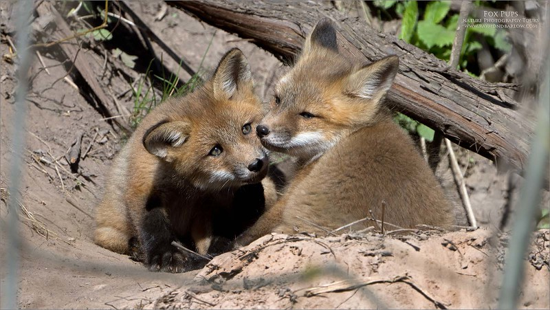 """Fox Pups.<br /> <br /> A local den had a new look at these beautiful young pups this morning.<br /> <br /> Amazing sight!<br /> <br /> Mom was out hunting, and the 8 pups were hanging around the den, being playful in the early morning sunshine.  The night was cold, so I am sure they were happy to get out, and exercise!. <br /> <br /> A pretty heavy crop for this one, as the den is up on a hill, a bit hidden in the trees.  We are looking forward to another visit, and hoping they do not move to another den for a few days!<br /> <br /> Thanks for looking, I am posting a short video on my YouTube page also.  Link below!<br /> <br /> <a href=""""https://www.youtube.com/channel/UCtlote8B_PMVxzfbiENatZw"""">https://www.youtube.com/channel/UCtlote8B_PMVxzfbiENatZw</a>"""