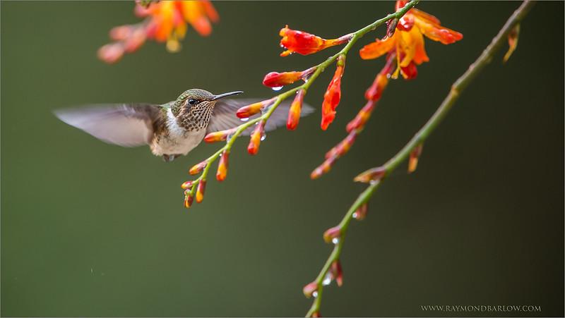 DSC_9887 Volcano Hummingbird 1600 share