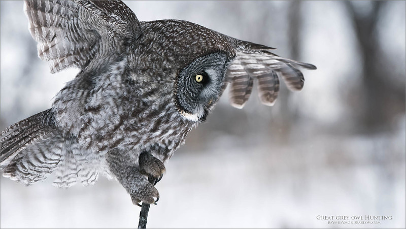 Incoming!  to about 12 yards, this bird does a balancing act only about 7 feet off the ground right in front of us!  No Bait!<br /> <br /> Great grey owl Landing<br /> Quebec, Canada<br /> <br /> ray@raymondbarlow.com<br /> Nikon D810 ,Nikkor 200-400mm f/4G ED-IF AF-S VR<br /> 1/2000s f/5.6 at 300.0mm iso1250