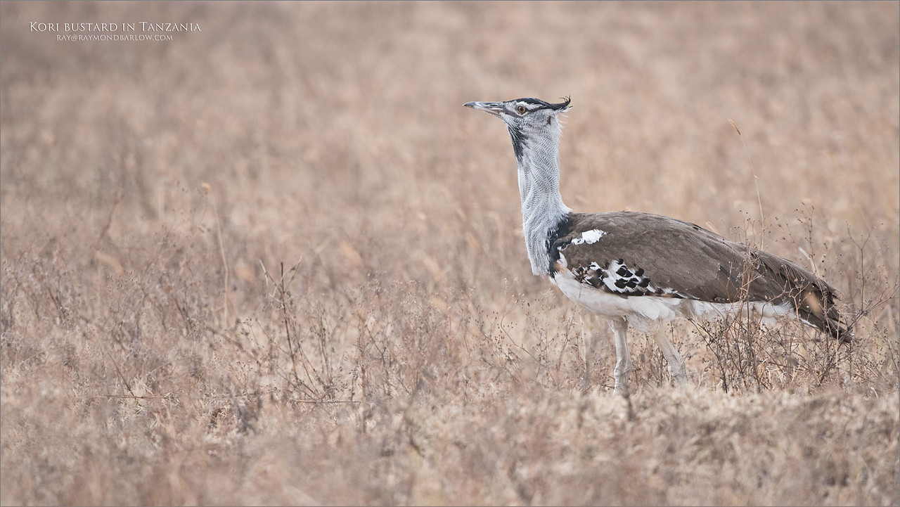 Maybe the size of a golden retriever, the Kori bustard roams the grassland in search of insects.<br /> <br /> Tanzania Tour with your camera!<br /> <br /> raymond<br /> <br /> #africa #nature #wildlife #bird #raymondbarlow