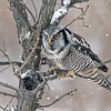 "Hungry Owl!<br /> <br /> Mitchell Brown and I arrived on the scene once again, to try for another cool shot of this amazing Northern Hawk owl. <br /> It was perched really high on a distant tree, so w waited!  Maybe an hour in the freezing cold.  Hoping for some sort of perched shot, with the nice snow falling, the bird came down to eye level on a neat perch for a visit.<br /> Amazing!  <br /> As it was hungry, we could see it struggling to dislodge the vole that was stored in the branches here.  I would say the struggle went on for at least 5 minutes before the owl gave up and heading off to the distant woods, out of sight.  so off for a coffee, and the drive home from there, listening to awesome music that Mitchell and I both enjoy.<br /> <br /> Special thanks to buddy Mitch, good fun as always!!<br /> <br /> Northern Hawk Owl and the Meal<br /> Ontario, Canada<br /> <br />  <a href=""http://www.raymondbarlow.com"">http://www.raymondbarlow.com</a><br /> Sony A7riv,Sony 100-400GM<br /> 1/800s f/5.6 at 318.0mm iso640"