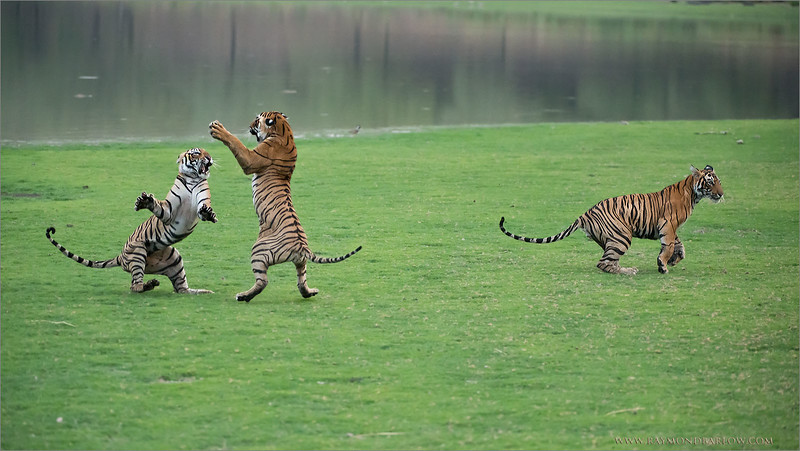 "The Tiger Sisters Dance<br /> (and the brother makes a run for it!)<br /> Raymond's India Photo Tours<br /> <br />  <a href=""http://www.raymondbarlow.com"">http://www.raymondbarlow.com</a><br /> ray@raymondbarlow.com<br /> Nikon D800 ,Nikkor 200-400mm f/4G ED-IF AF-S VR<br /> 1/2500s f/4.0 at 210.0mm iso5000"
