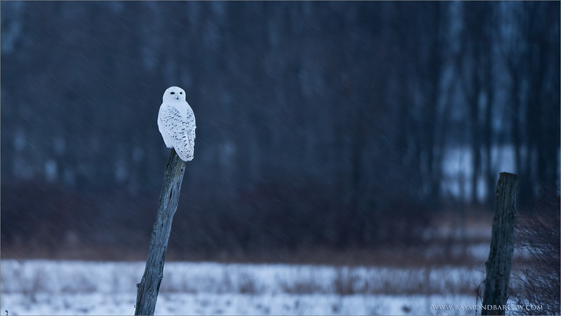 "Snowy Owl in a Snowstorm<br /> Raymond's Ontario Nature Tours<br /> <br />  <a href=""http://www.raymondbarlow.com"">http://www.raymondbarlow.com</a><br /> ray@raymondbarlow.com<br /> Nikon D810 ,Nikkor 200-400mm f/4G ED-IF AF-S VR<br /> 1/30s f/4.0 at 360.0mm iso64"