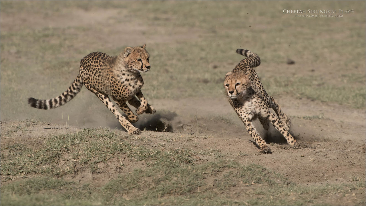 Cheetahs at Play Series 12 Shots  - Image 9 of 12