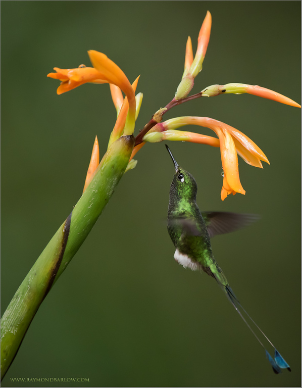 Booted racket-tail in Flight<br /> Raymond's Ecuador Photography Tours<br /> <br /> ray@raymondbarlow.com<br /> Nikon D810 ,Nikkor 200-400mm f/4G ED-IF AF-S VR<br /> 1/1000s f/4.5 at 400.0mm iso2500