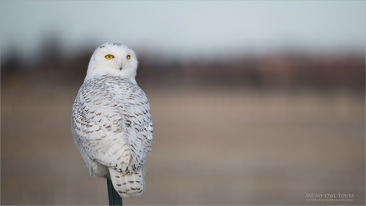 Snowy Owl - D850<br /> Raymond's Ontario Nature Photography Tours<br /> Nikon D850 ,Nikkor 200-400mm f/4G ED-IF AF-S VR<br /> 1/2500s f/4.0 at 400.0mm iso200