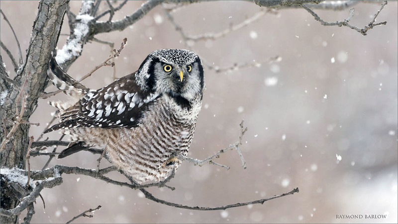 "An eye level perch with falling snow was the most awesome opportunity!<br /> <br /> Mitchell brown and I had some fun here in the chilly air north of Toronto.  What a cool<br /> photo opportunity! <br /> <br /> We head back up for Saturday.<br /> <br /> Northern Hawk Owl<br /> Ontario, Canada<br /> <br />  <a href=""http://www.raymondbarlow.com"">http://www.raymondbarlow.com</a><br /> Sony A7riv,Sony 100-400GM<br /> 1/320s f/5.6 at 400.0mm iso640"
