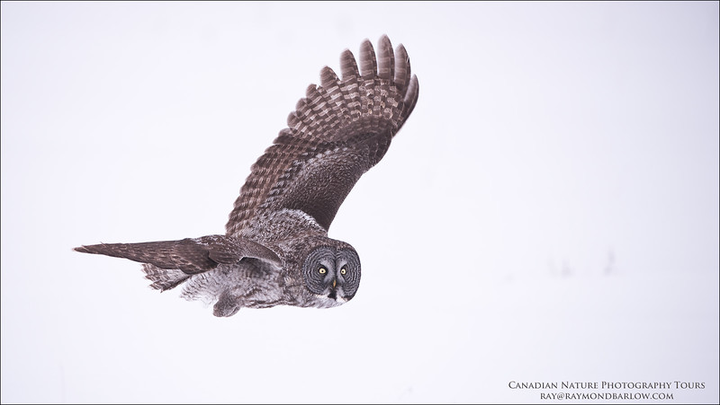 "Great Grey Owl in Flight<br /> Raymond's Canada Nature Photography Tours<br /> <br />  <a href=""http://www.raymondbarlow.com"">http://www.raymondbarlow.com</a><br /> Nikon D810 ,Nikkor 200-400mm f/4G ED-IF AF-S VR<br /> 1/2000s f/4.0 at 280.0mm iso800"