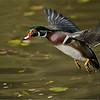 Male Wood Duck in Flight<br /> RJB Wild Birds of Ontario Workshops<br /> Nikon D800 ,Nikkor 200-400mm f/4G ED-IF AF-S VR<br /> 1/2000s f/4.0 at 330.0mm iso400