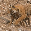 Tigress T60 and her Timid Cub<br /> Raymond's Wild Tiger Photography Tours<br /> <br /> Mothers are here to protect their children, All of US are <br /> here to protect Nature.<br /> <br /> ray@raymondbarlow.com<br /> Nikon D800 ,Nikkor 80-200mm f/2.8D ED AF<br /> 1/500s f/7.1 at 170.0mm iso1250