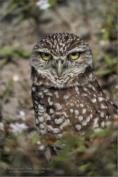 Burrowing Owl - Swarovski Scope<br /> Florida<br /> <br /> ray@raymondbarlow.com<br /> Nikon D850 ,Swarovski Spotting Scope - 95mm Optic<br /> 1/800s f/8.4 iso400