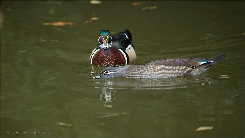 Wood Duck Couple<br /> Nikon D800 ,Nikkor 200-400mm f/4G ED-IF AF-S VR<br /> 1/500s f/4.0 at 400.0mm iso1600