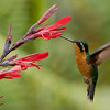 """What is Sweet?<br /> <br /> This female knows! <br /> <br /> Finding the sweet nectar in flowers is a full time<br /> job for this young lady hummingbird.  Attracted to certain colours in flowers, and knowing just where to look is this birds key to success.<br /> <br /> Hummingbirds have no sense of smell, so colourful flowers make finding food so important.  When I wear my red Canada hat to this garden, I have several birds come in close to me for an inspection! <br /> <br /> Best wishes, have a good day.<br /> My facebook page - <a href=""""http://tinyurl.com/o6a948d"""">http://tinyurl.com/o6a948d</a><br /> <br /> Purple-throated Mountain Gem<br /> RJB Colours of Costa Rica Tour<br />  <a href=""""http://www.raymondbarlow.com"""">http://www.raymondbarlow.com</a><br /> 1/500s f/6.3 at 400.0mm iso1600"""