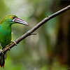 Crimson-rumped toucanet<br /> Raymond's Ecuador Tours<br /> <br /> ray@raymondbarlow.com<br /> Nikon D810 ,Nikkor 200-400mm f/4G ED-IF AF-S VR<br /> 1/640s f/4.0 at 400.0mm iso2000