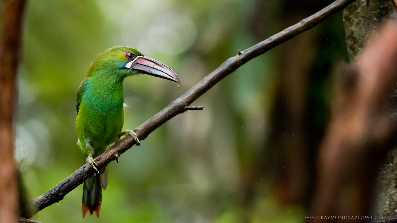 Crimson-rumped toucanet<br /> Raymond's Ecuador Tours<br /> <br /> ray@raymondbarlow.com<br /> Nikon D810 ,Nikkor 200-400mm f/4G ED-IF AF-S VR<br /> 1/640s f/4.0 at 400.0mm iso2000