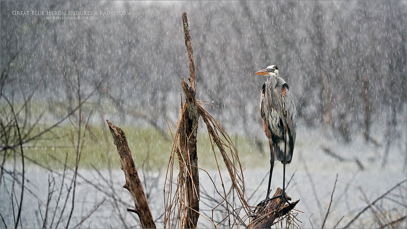 Beautiful Real Nature in Florida!<br /> <br /> Great Blue Hero in Rainstorm<br /> Orlando, Florida<br /> <br /> ray@raymondbarlow.com<br /> Nikon D850 ,Nikkor 200-400mm f/4G ED-IF AF-S VR<br /> 1/400s f/4.0 at 200.0mm iso800