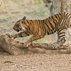 """Tigers 2016 - The Calendar -- purchase one here!<br /> <a href=""""http://www.lulu.com/shop/raymond-barlow/tigers-2016/calendar/product-22411406.html"""">http://www.lulu.com/shop/raymond-barlow/tigers-2016/calendar/product-22411406.html</a><br /> <br /> Male Royal Bengal Tiger<br /> RJB India Photo Tours<br /> <br /> ray@raymondbarlow.com<br /> Nikon D800<br /> 1/640s f/5.0 at 360.0mm iso2500"""