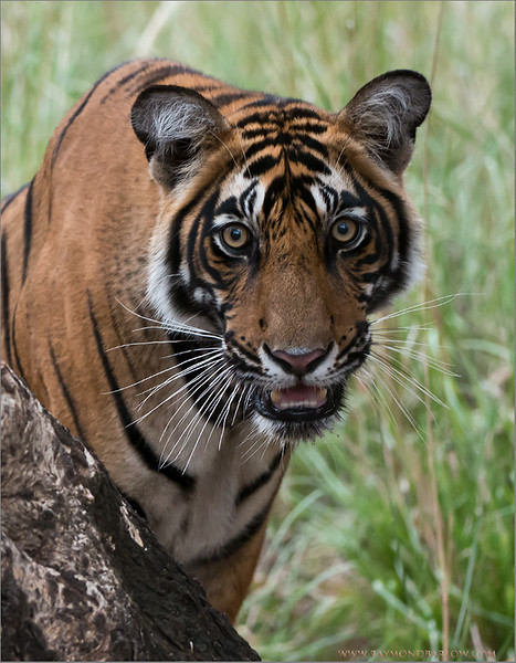 Tiger Portrait<br /> Raymond's India Photo Tours<br /> <br /> ray@raymondbarlow.com<br /> Nikon D800 ,Nikkor 200-400mm f/4G ED-IF AF-S VR<br /> 1/200s f/4.0 at 200.0mm iso2500