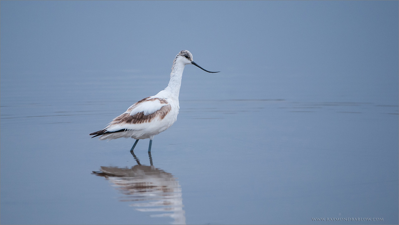 Pied Avocet<br /> RJB Tanzania, Africa Tours<br /> <br /> ray@raymondbarlow.com<br /> 1/500s f/4.0 at 400.0mm iso400