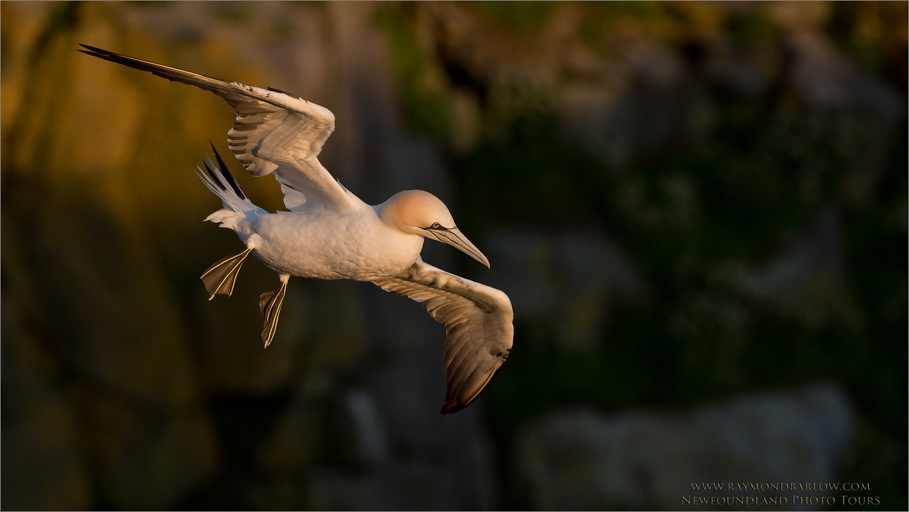 Northern Gannet in Flight<br /> Newfoundland Photo Tours