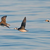 """Longtailed Ducks in Flight<br /> Ontario, Canada<br /> <br />  <a href=""""http://www.raymondbarlow.com"""">http://www.raymondbarlow.com</a><br /> Sony Alpha α7R IV ,Sony 100-400GM<br /> 1/2000s f/5.6 at 400.0mm iso1250"""