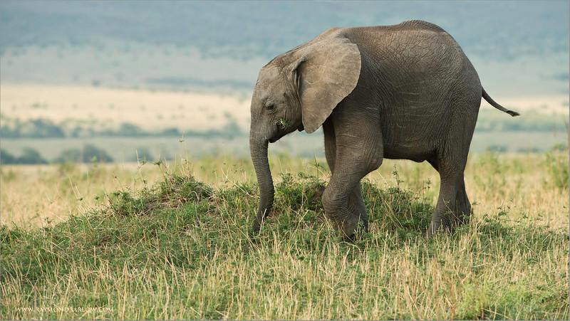 Elephant in the Serengeti