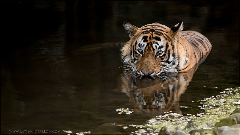Tiger Prints - Fine Art Prints - Our very best images!