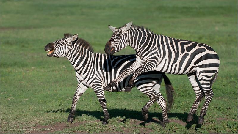 DSC_4669 Zebra airborn 1600 share