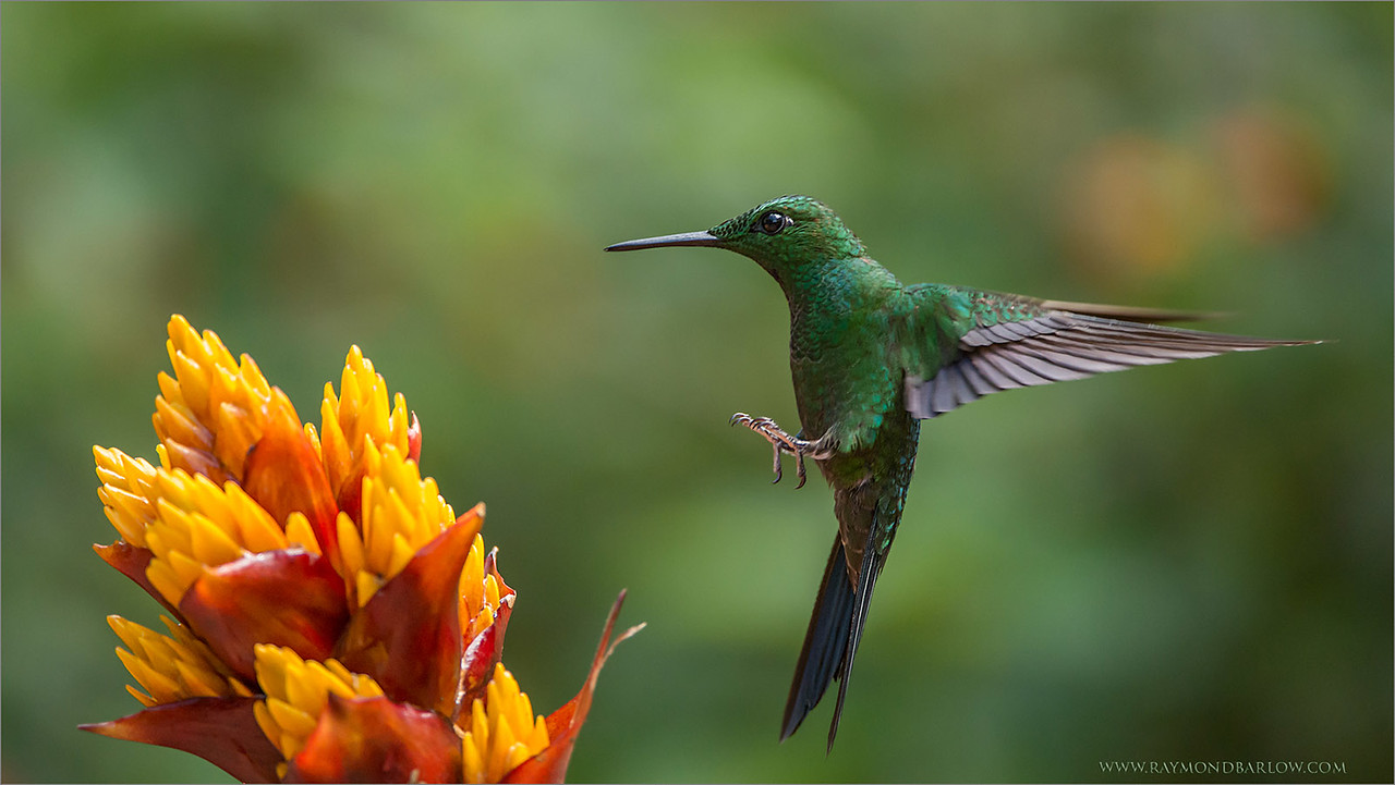 "The Colour Attracts!!<br /> <br /> Almost everyone, but the colours of these flowers attract the hummingbirds, since they have no sense of smell.<br /> <br /> Usually  the brightest flower works best for hummingbird photography.  This beautiful male Green-crowned brilliant came in for some nectar during our phototour last week.  Even a shutter-speed as low as 1/1600 was able to do a nice job freezing the wings.  all natural light with all of my images., no flash is ever used.<br /> <br /> Thanks to all who share and comment, so much appreciated!<br /> <br /> Save our planet, and respect nature please., for our children.<br /> <br /> Raymond<br /> <br /> Green-crowned Brilliant<br /> RJB Costa Rica Tours<br />  <a href=""http://www.raymondbarlow.com"">http://www.raymondbarlow.com</a><br /> 1/1600s f/4.0 at 400.0mm iso2500"